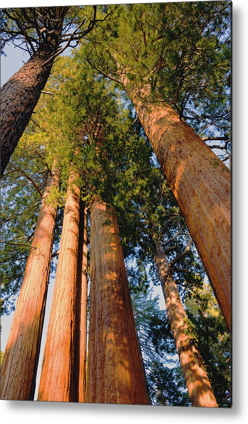 Mountains Metal Print featuring the photograph Grants Grove's Treasure by Bryan Shane