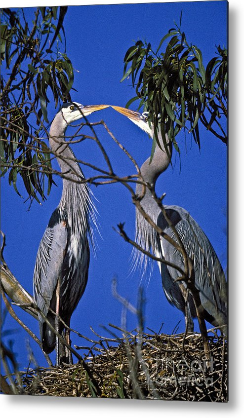 Great Blue Herons Metal Print featuring the photograph Great Blue Herons by Howard Stapleton