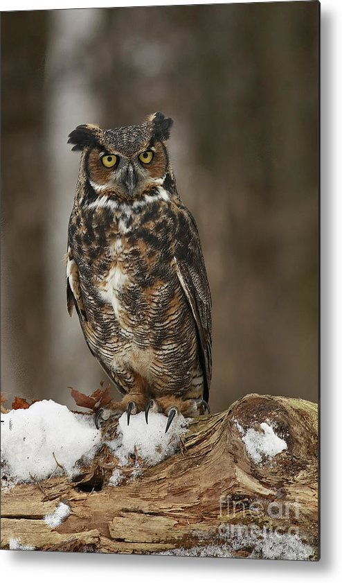Great Horned Owl Watching You Metal Print featuring the photograph Great Horned Owl Watching You by Inspired Nature Photography Fine Art Photography