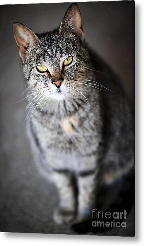 Cat Metal Print featuring the photograph Grey Cat Portrait by Elena Elisseeva