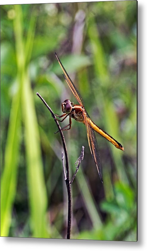 Golden Winged Skimmer Metal Print featuring the photograph Hanging On by Theo OConnor