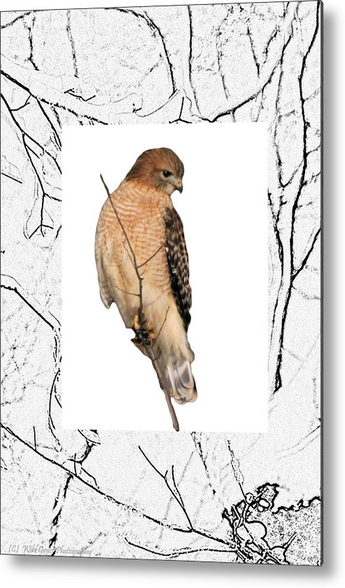 Hawk Metal Print featuring the photograph Hawk Framed In Branch Outline by Crystal Heitzman Renskers
