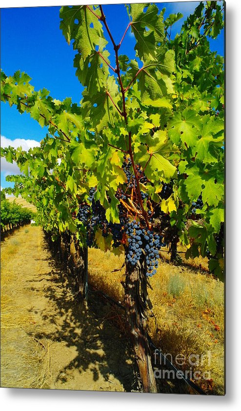 Grapes Metal Print featuring the photograph Heavy On The Vine At The High Tower Winery by Jeff Swan