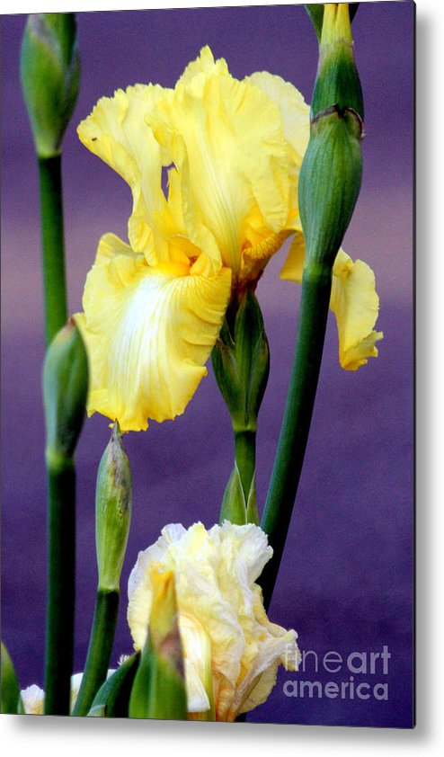 Yellow Bearded Iris Metal Print featuring the photograph I Only Have Iris For You by Kathy White