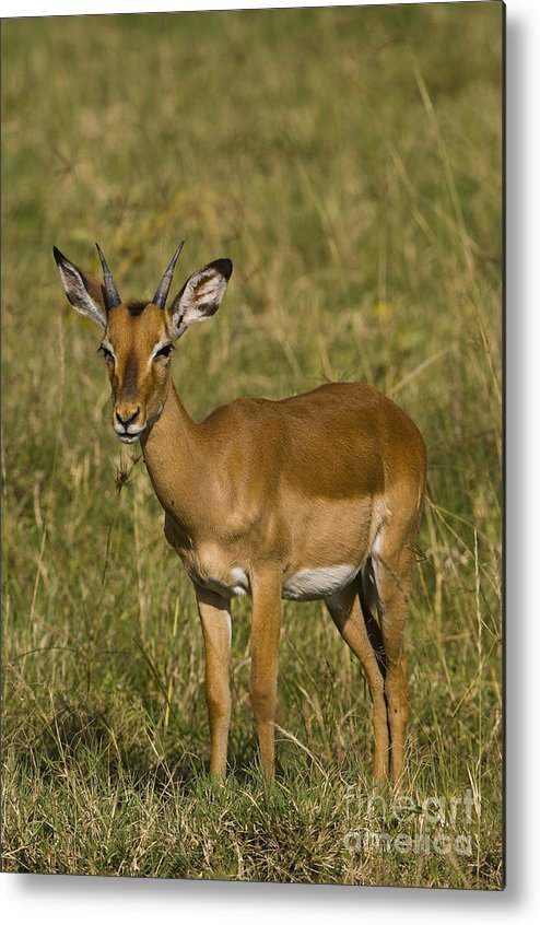 Aepyceros Melampus Metal Print featuring the photograph Impala Female by John Shaw