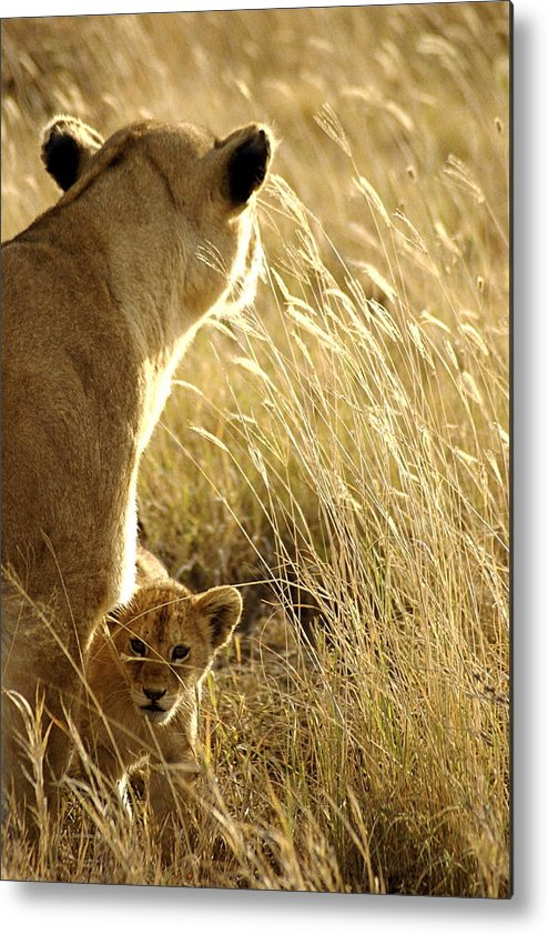 Lions Metal Print featuring the photograph In The Tall Grass by Marc Levine