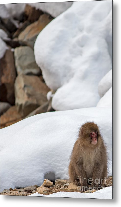 Snow Monkey Metal Print featuring the photograph Just Waiting On A Friend by Natural Focal Point Photography