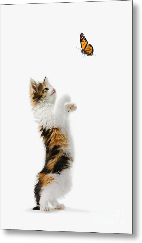 Active Metal Print featuring the photograph Kitten And Monarch Butterfly by Wave Royalty Free