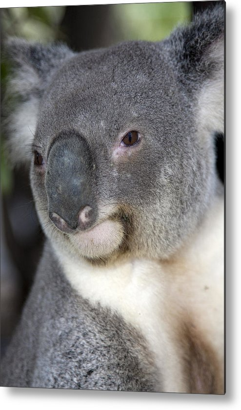 Australia Metal Print featuring the photograph Koala by Darren Patterson