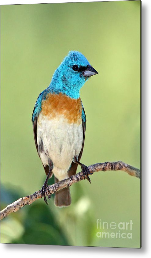 Birds Metal Print featuring the photograph Lazuli Bunting by Bill Singleton