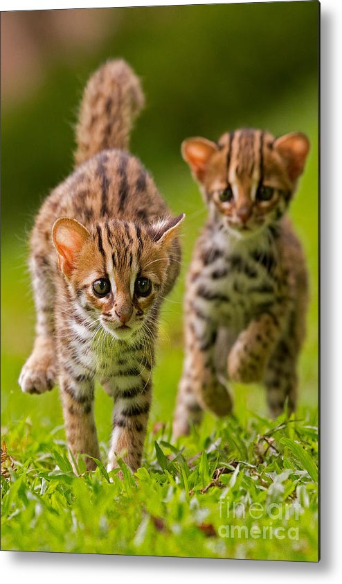 Adorable Metal Print featuring the photograph Leopard Stampede by Ashley Vincent
