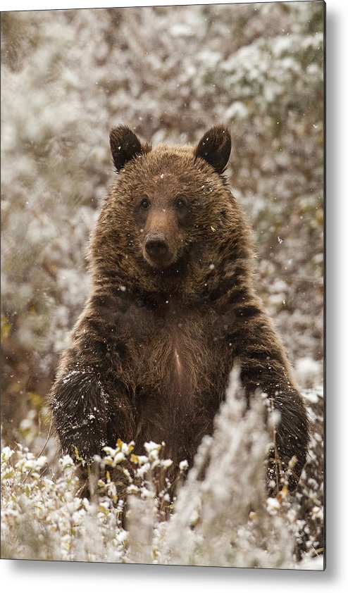 Grizzly Bear Metal Print featuring the photograph Let It Snow by Sandy Sisti