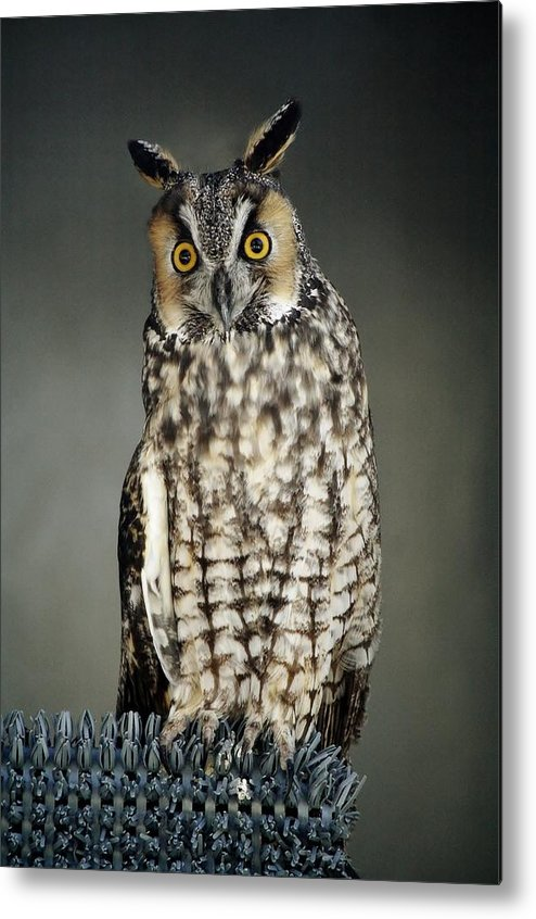 Owl Metal Print featuring the photograph Long-eared Owl by Paulette Thomas