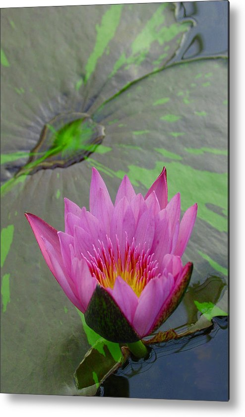Lotus Metal Print featuring the photograph Lotus Blossom by Suzanne Gaff