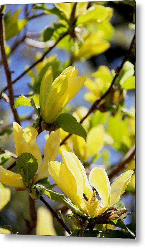Magnolias Metal Print featuring the photograph Magnolias by Becca Brann