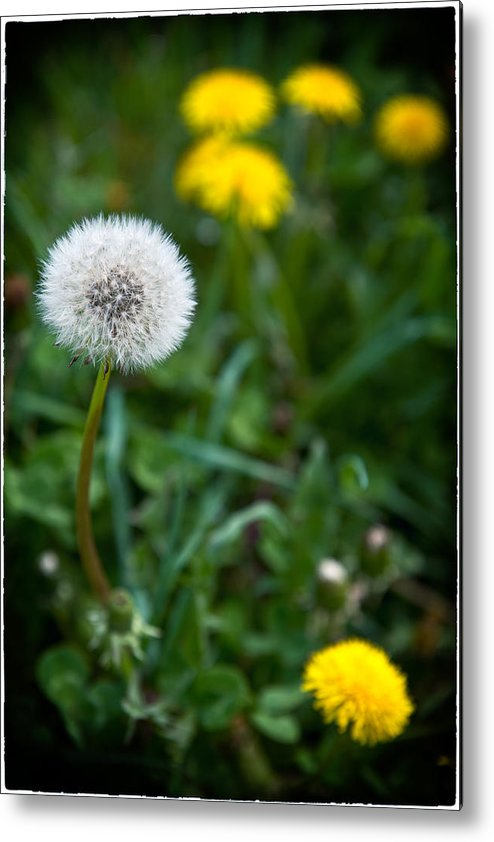 Dandelion Metal Print featuring the photograph Maturity by Nicole Couture-Lord