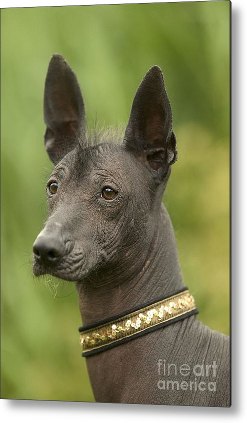 Mexican Hairless Metal Print featuring the photograph Mexican Hairless Dog by Jean-Michel Labat
