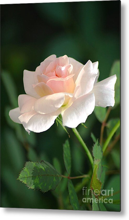 Rose Metal Print featuring the photograph Morning Has Broken by Living Color Photography Lorraine Lynch