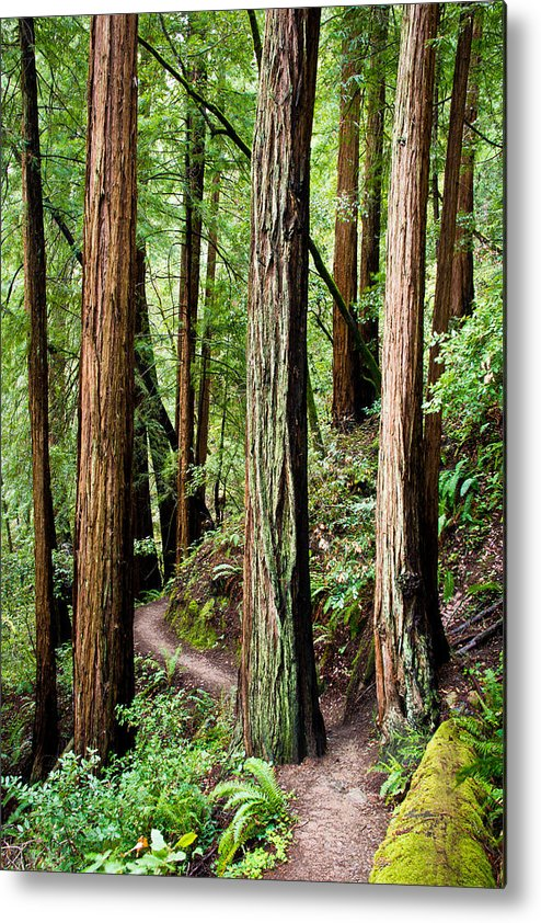 Tree Metal Print featuring the photograph Muir Woods by Niels Nielsen