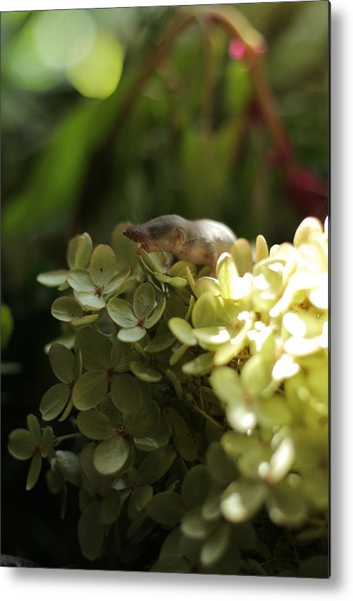 Mouse Metal Print featuring the photograph Muis In Hortensia by Maurice Loncke