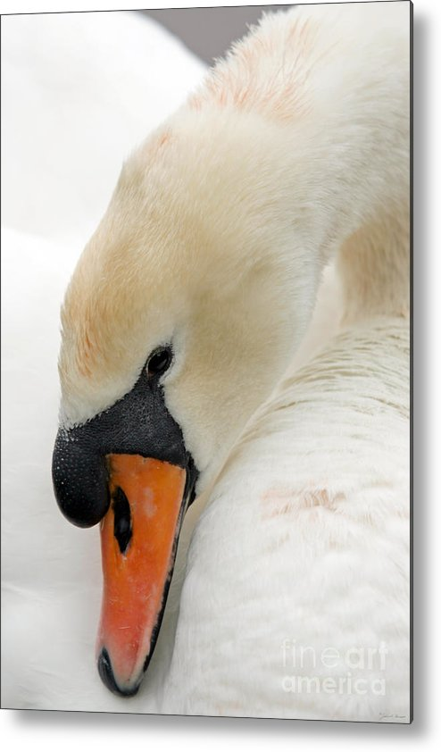 Cygnus Color Metal Print featuring the photograph Mute Swan Fine Art Photograph by John Harmon
