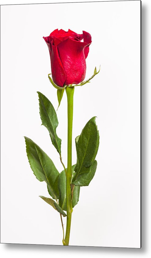 3scape Metal Print featuring the photograph One Red Rose by Adam Romanowicz