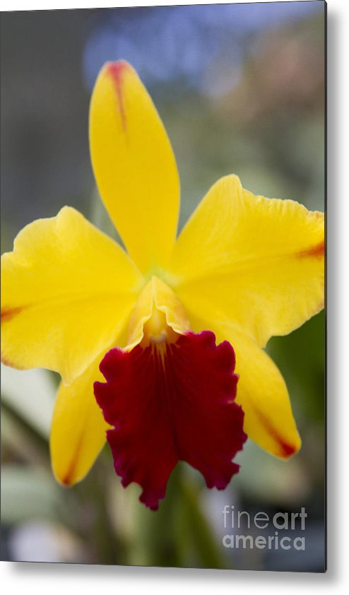 Aloha Metal Print featuring the photograph Orchid Beauty - Cattleya - Pot Little Toshie Mini Flares Mericlone Hawaii by Sharon Mau