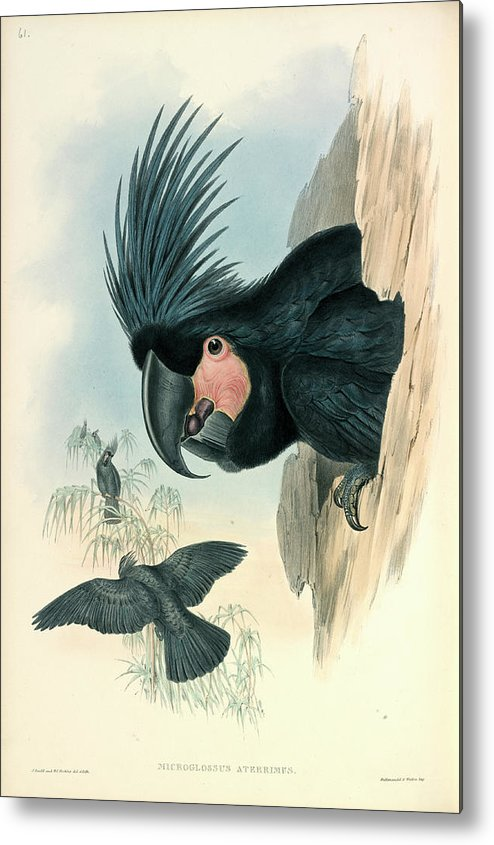 1821-1902 Metal Print featuring the photograph Palm Cockatoo by Natural History Museum, London