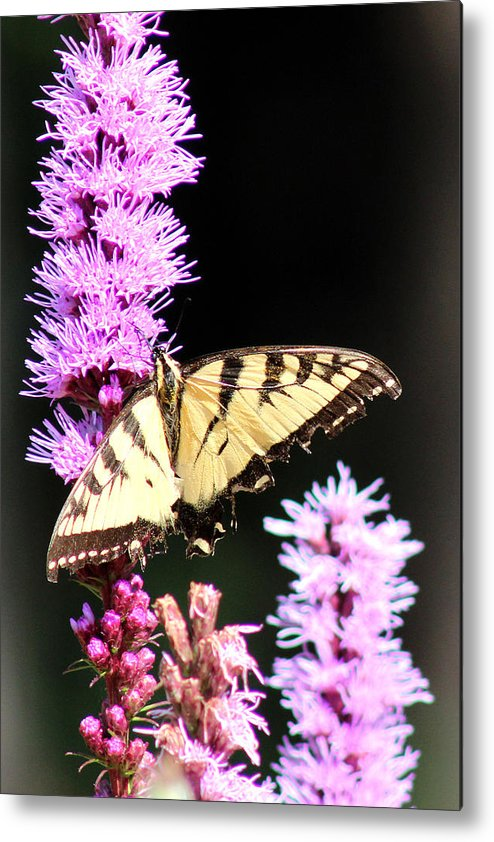 Butterfly Metal Print featuring the photograph Peaceful Morning by Roger Bruneau