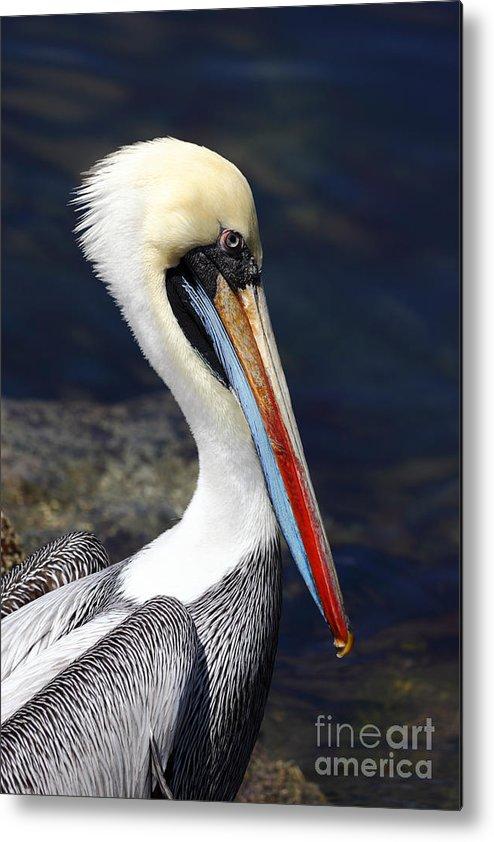Pelican Metal Print featuring the photograph Peruvian Pelican Portrait by James Brunker