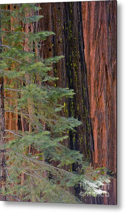 Mountains Metal Print featuring the photograph Pine In The Redwoods by Bryan Shane