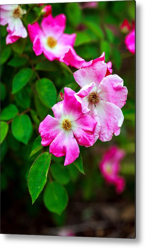 Bumble Bee Metal Print featuring the photograph Pink Roses by Sennie Pierson