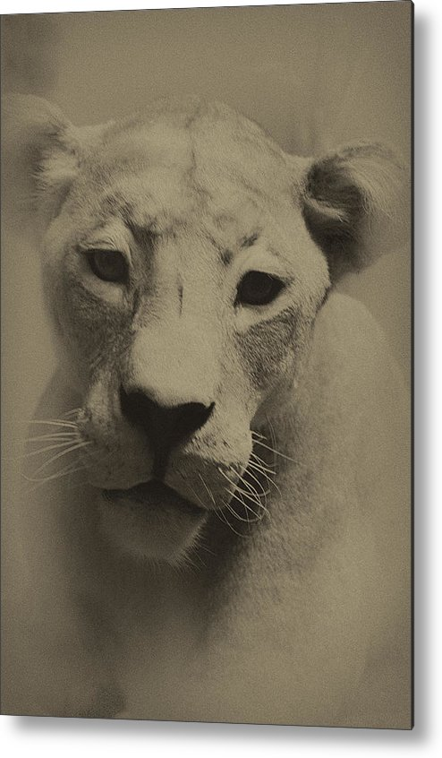 Lion Metal Print featuring the photograph Portrait Of A Lioness by William Jones