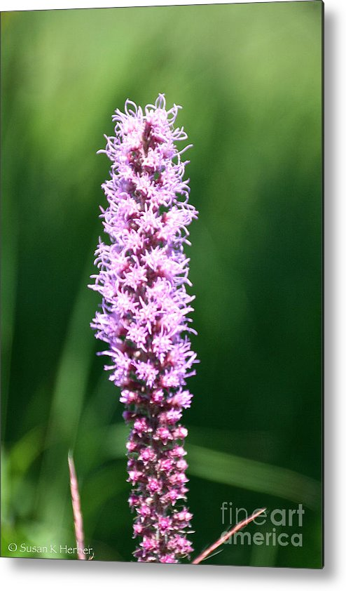 Flower Metal Print featuring the photograph Purple Push Up by Susan Herber