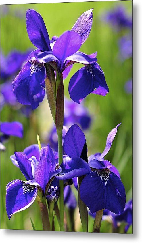 Iris Metal Print featuring the photograph Purple Reign by Sandy Molinaro