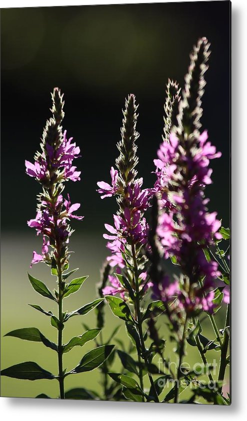 Wild Metal Print featuring the photograph Purple Wild Flowers - 1 by Kenny Glotfelty