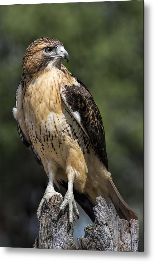 Red Tailed Hawk Metal Print featuring the photograph Red Tailed Hawk by Dale Kincaid