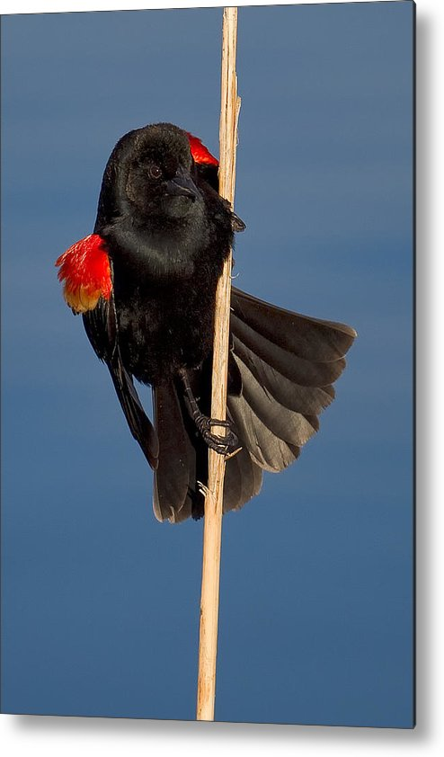 Red-winged Metal Print featuring the photograph Red-winged Blackbird by Kurt Bowman