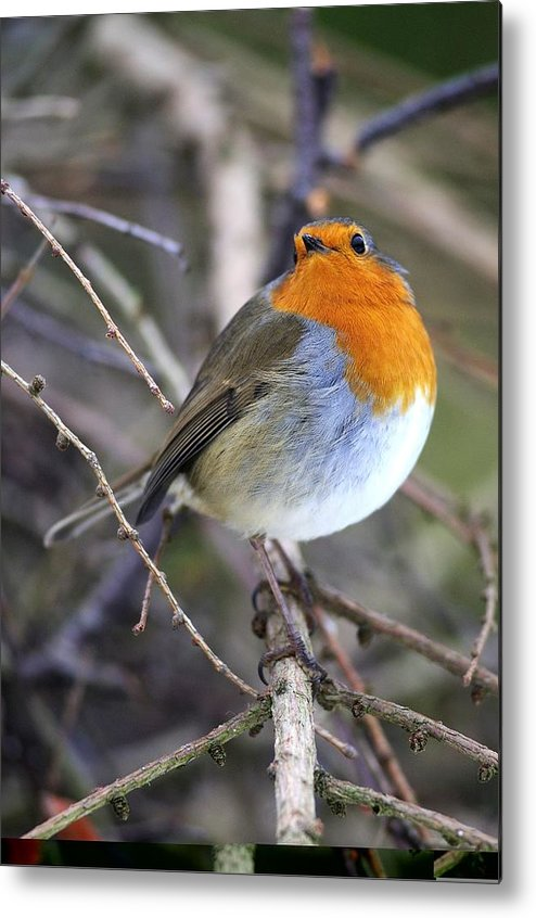Robin Metal Print featuring the photograph Robin by Science Photo Library