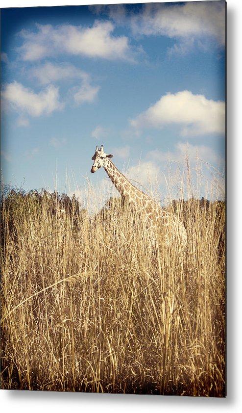 Animal Metal Print featuring the photograph Safari Giraffe by Tiffany Zumbrun