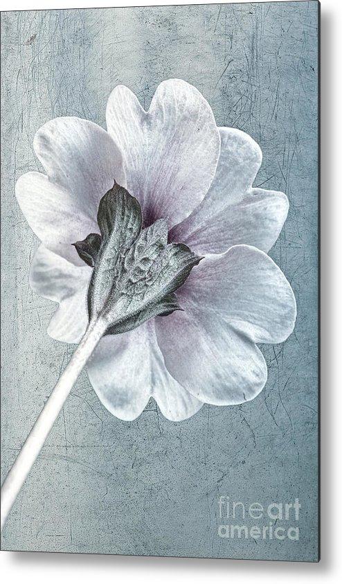 Primula Vulgaris Metal Print featuring the photograph Sheradised Primula by John Edwards