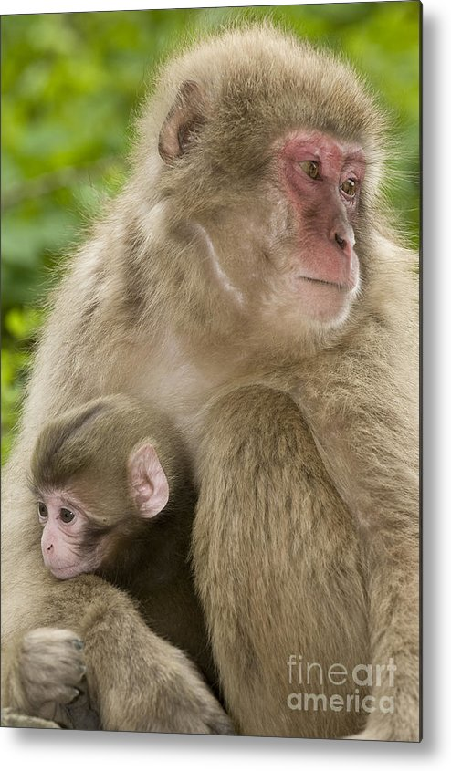 Asia Metal Print featuring the photograph Snow Monkeys, Mother With Her Baby by John Shaw