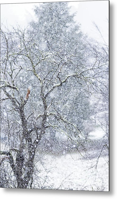 Snow Storm Metal Print featuring the photograph Snowfall And Apple Tree by Thomas R Fletcher