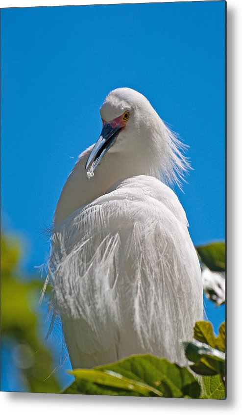 Snowy Egret Metal Print featuring the photograph Snowy Egret by Donna Doherty