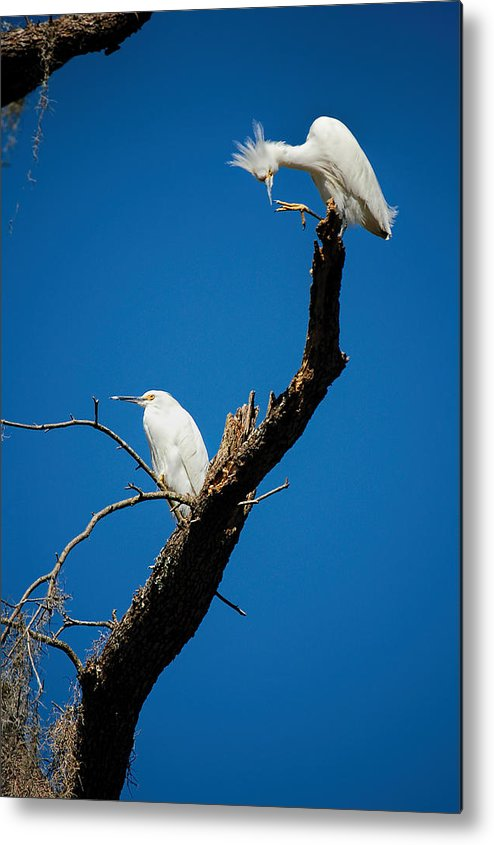 Egret Metal Print featuring the photograph Snowy Egrets by Donna Proctor