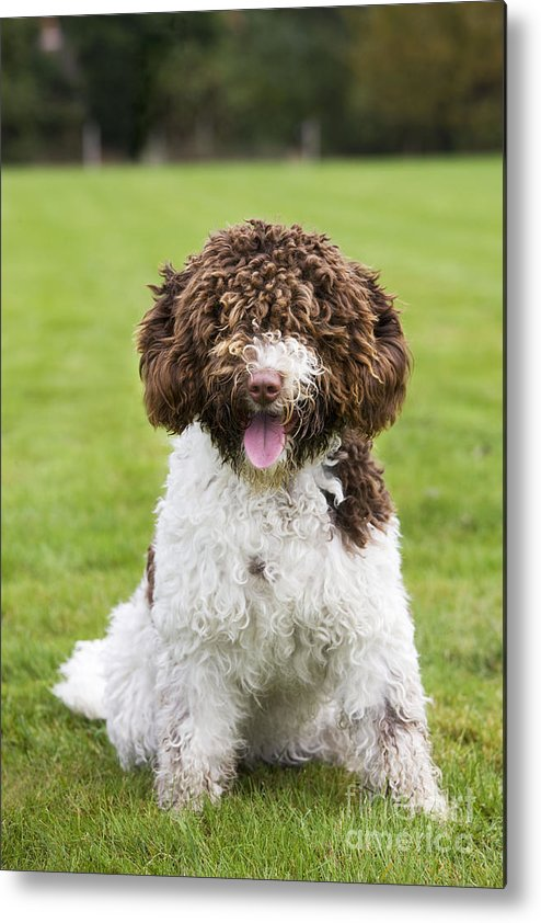 Spanish Water Dog Metal Print featuring the photograph Spanish Water Dog by Johan De Meester