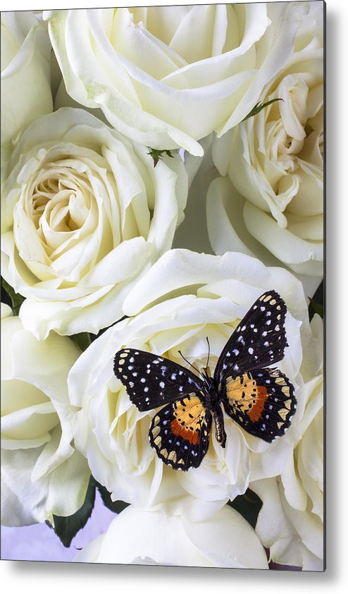 Speckled Butterfly Metal Print featuring the photograph Speckled Butterfly On White Rose by Garry Gay