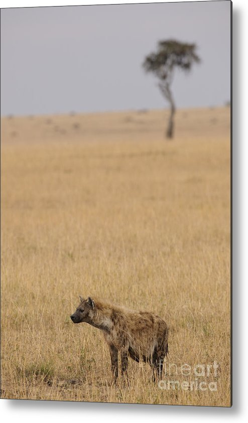 Africa Metal Print featuring the photograph Spotted Hyena by John Shaw