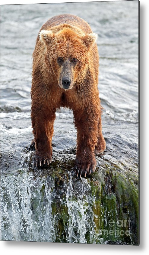 Brown Bear Metal Print featuring the photograph Stare Down by Bill Singleton