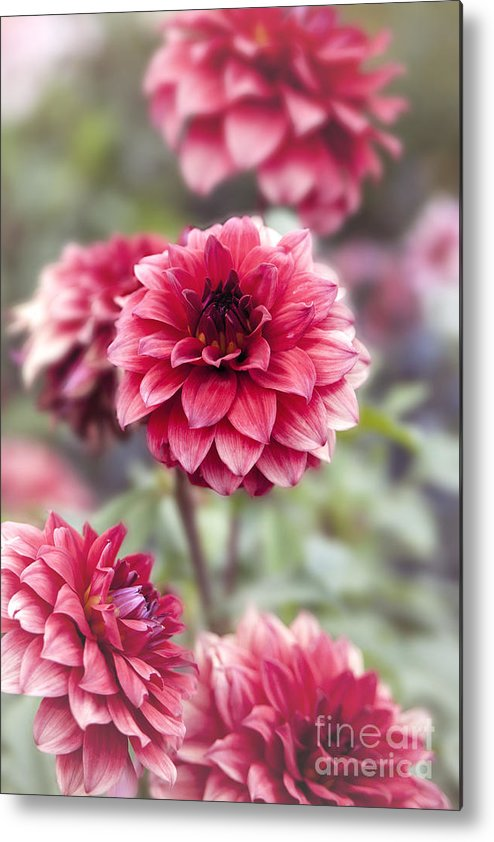 Pink Dahlia Metal Print featuring the photograph Summer Dahlia by Tracy Burleson